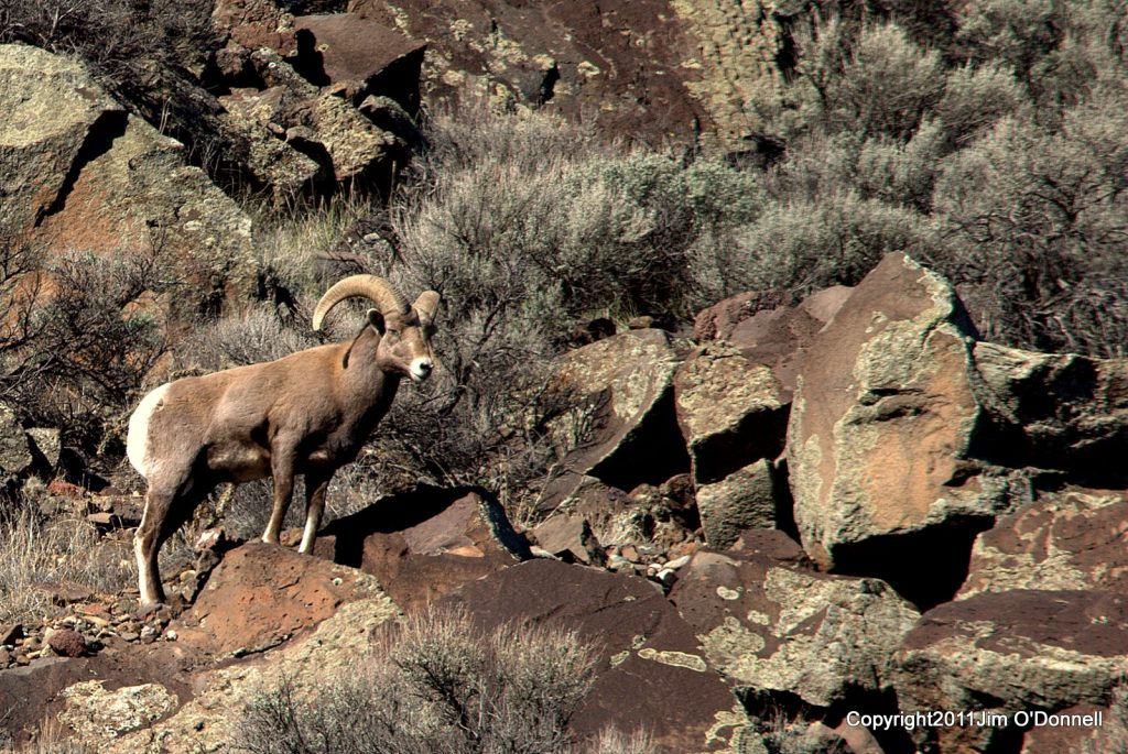 photography big horn sheep