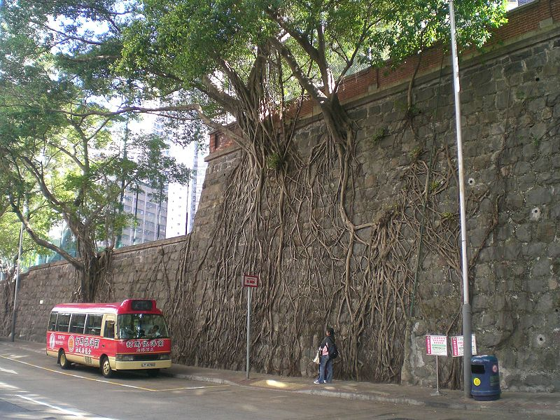 800px HK Forbes Street Kennedy Town Stone Wall Trees n Minibus The Wall Trees of Hong Kong