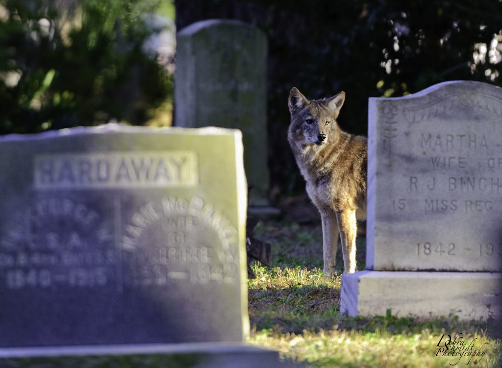 Cemetery Coyote deb 1024x751 Cemetery Junction   Eight Groovy Graveyard Pictures